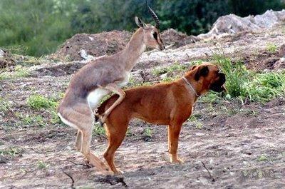 antílope come boxer