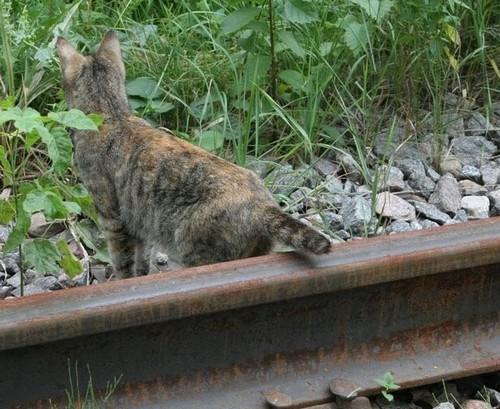 um gato com o rabo no trilho do trêm