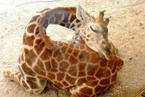 como as girafas dormem