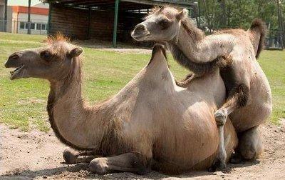 sexo camelo